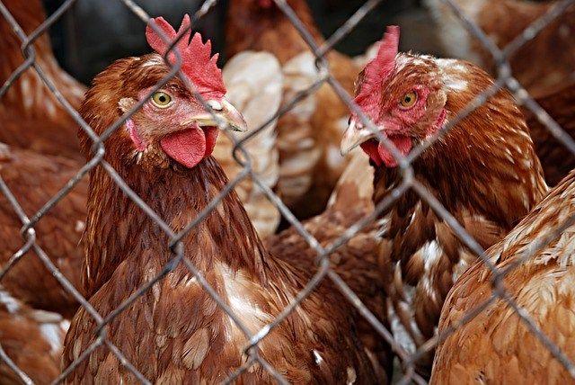 Poulehouse : la cotisation retraite pour poule pondeuse ?