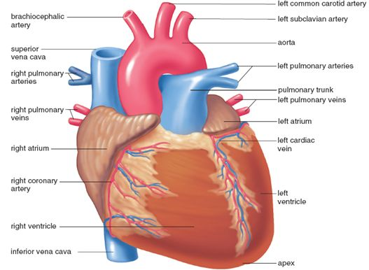 85 Best A Amp P Chapter 11 Cardiovascular System Images