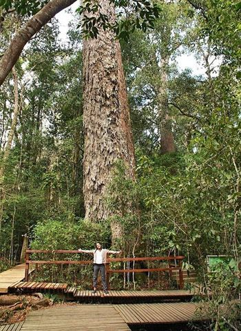 Big tree Tsitsikamma. BelAfrique your personal travel planner - www.BelAfrique.com