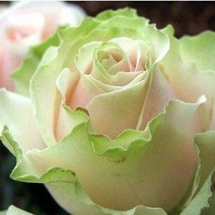 Rare Dancing Queen Rose 100 Seeds