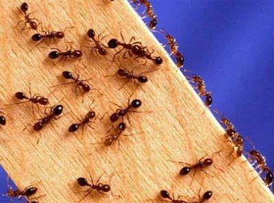 Para combatirlas ecológicamente: Vinagre: Limpia las encimeras, armarios y otros lugares donde has detectado hormigas, con una mezcla 50-50 de vinagre blanco y agua. Repetir todo el día para mantener la eficacia.    ¿Por qué funciona esto? Dos razones, en realidad, las hormigas odian el olor del vinagre, y elimina los rastros de olor que utilizan para moverse.