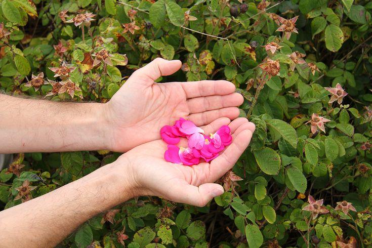 Tisane bio - Le Dauphin ; herboristerie  : pétales de roses bio