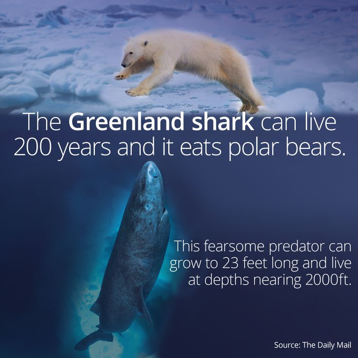 A definitely not photoshopped picture of the TERRIFYING Greenland Shark... #shark
