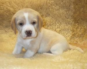lemon beagle puppy :) I wouldn't trade my baby beagles for ANYTHING but this lemon beagle would make a good addition.!