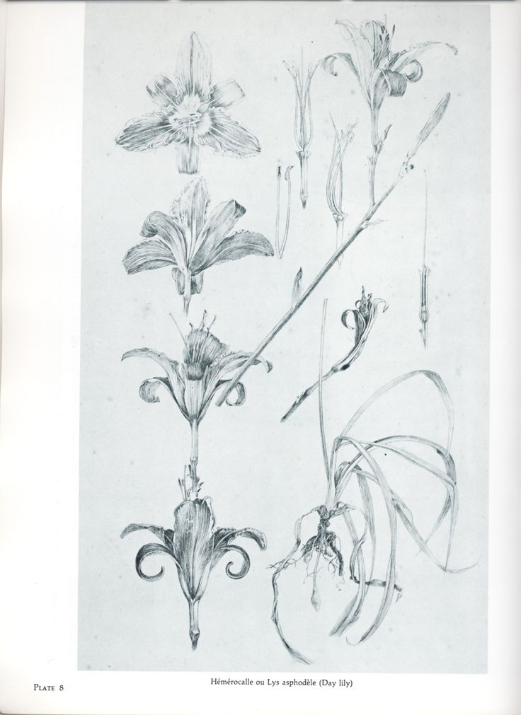 Plant sketches by Mucha.