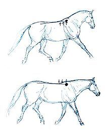 Collection occurs when a horse carries more weight on the hind legs than the front legs. The horse draws its body together so that it becomes like a giant spring whose stored energy can be reclaimed for fighting or running from a predator. The largest organic spring in the horse's body, and therefore the easiest one to observe in action, is the back, including the spine and the associated musculature that draws it together in much the same way that a bow is drawn by an archer.
