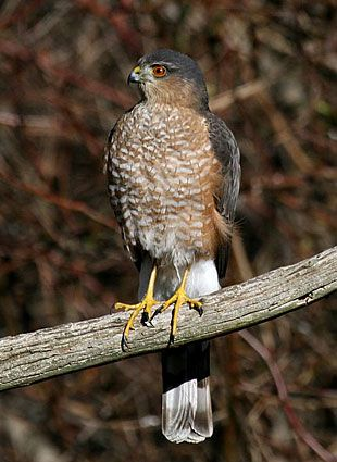 Cooper's Hawk - My feeders, January 5. Has gotten at least two Mourning Doves and perhaps a Goldfinch