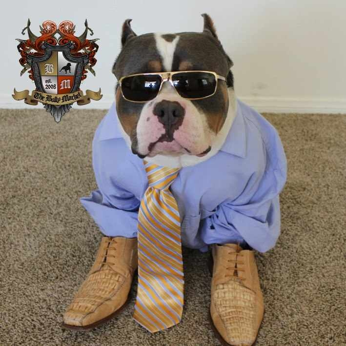 78 Best images about Our american bully dogs, pitbull ...