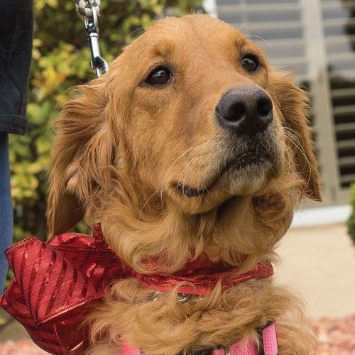 Cressy has been adopted! She is an adult female Golden Retriever. GRR of EL Paso, TX