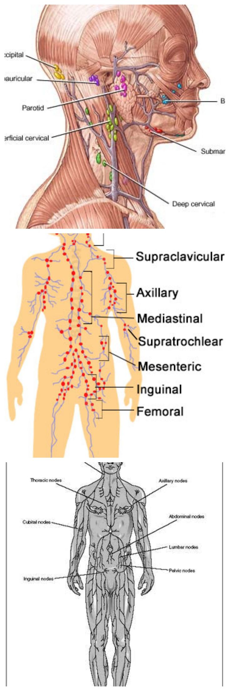 Lymph Nodes : Location, Pictures, Types, Significance ....Lymph node is an organ of the immune system that has a shape of an oval. Lymph nodes are located throughout the body ...... Learn what lymph nodes are, what they do, and why they are important to your overall health ...... CANCER OF THE LYMPH NODES. CANCER