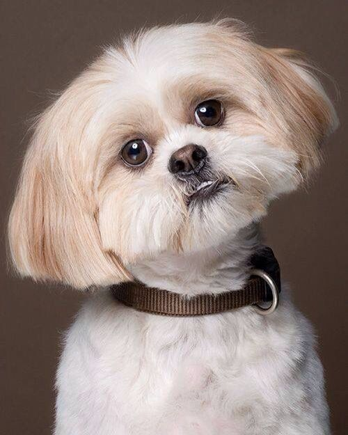 what does a shih tzu dog look like 29 best images about dogs on pinterest pony tails 8255