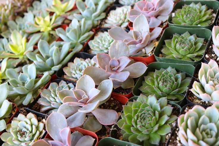 "2"" Rosette Succulents bulk wholesale succulent prices at the succulent source - 6"