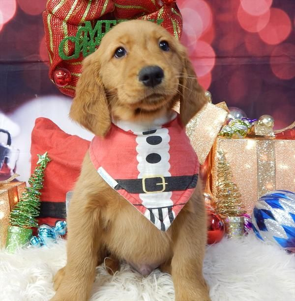 Golden Retriever Puppy For Sale In Chicago Il Adn 57160 On