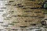 Birch bark is used for a variety of purposes, from making jewelry to building canoes. Many people enjoy working with this type of wood due to its versatility, water resistance and rot resistance. However, birch bark needs softening to make working with it easier. Once the bark softens, it is more pliable -- making it ideal for weaving projects and...