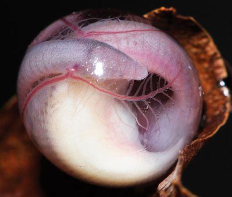 embrião de cobra cega em detalhe