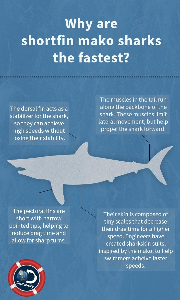 75 best sharks 101 images on pinterest shark week for What is the fastest swimming fish