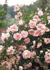 Rosa pimpinellifolia Juhannusmorsian  At/Co