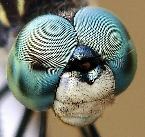 Very cool close-up of a Blue Dasher dragonfly by Dixie Native
