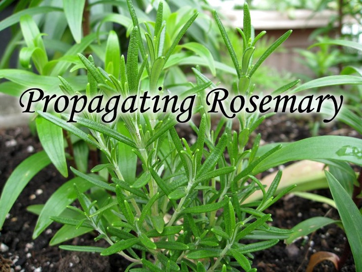 How To Propagate Rosemary Herb Plant From Cuttings