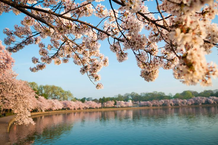 The latest information and forecasts on when Washington DC's cherry blossoms around the Tidal Basin will reach peak bloom in Spring 2015.