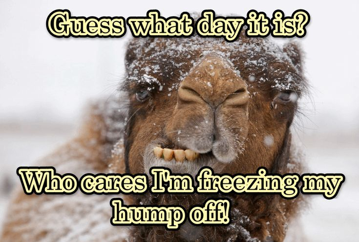Guess what day it is quotes quote funny quotes days of the week humor wednesday humpday winter quotes wednesday quotes camels