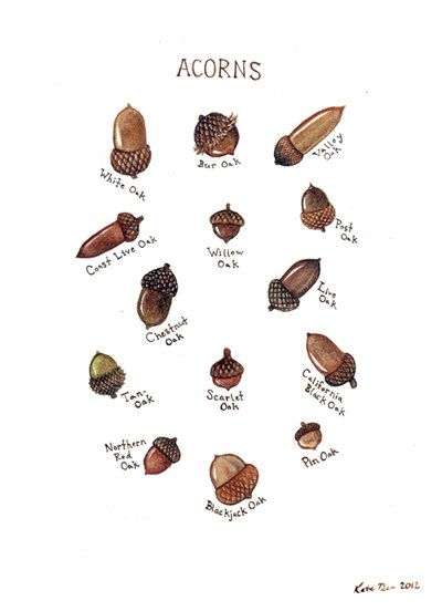 Acorns Field Guide Chart Watercolor Art Print. $18.00, via Etsy.
