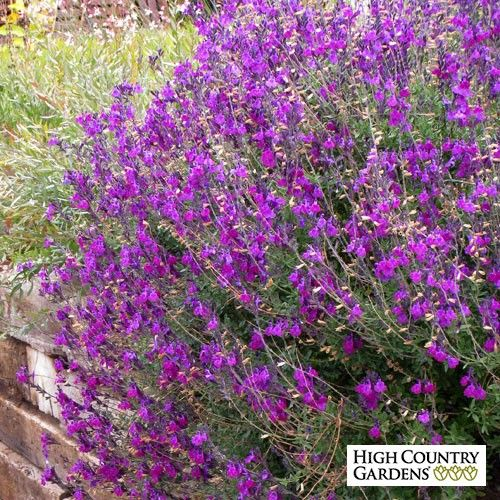 1000 ideas about salvia plants on pinterest white gardens shade plants and cottage gardens - Heat tolerant plants keeping gardens alive ...