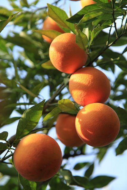 kinnow orange fruits and vegetables pinterest. Black Bedroom Furniture Sets. Home Design Ideas