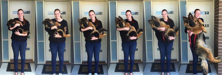 8ヶ月でこんなに大きくなっちゃうの!?ジャーマンシェパードの子犬の成長記録