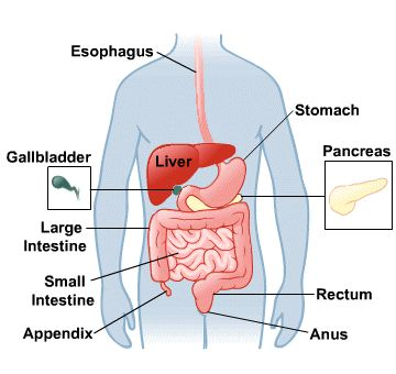Digestive System on Third Grade Science Worksheets Daily News