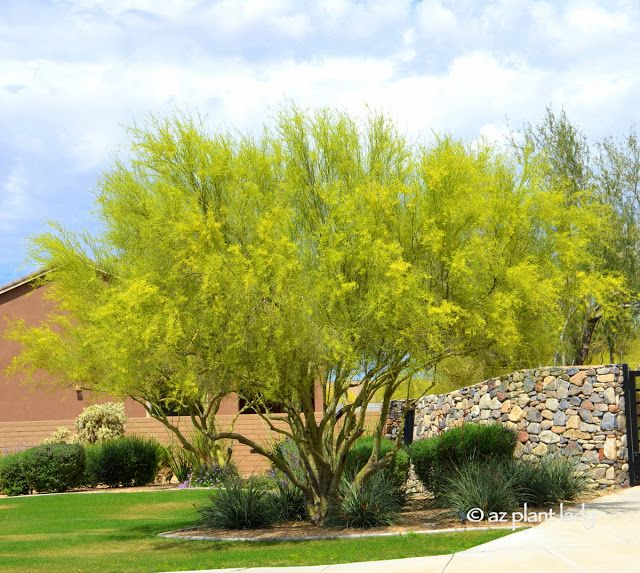 Landscaping With Palo Verde Trees : Palo verde on low water landscaping desert