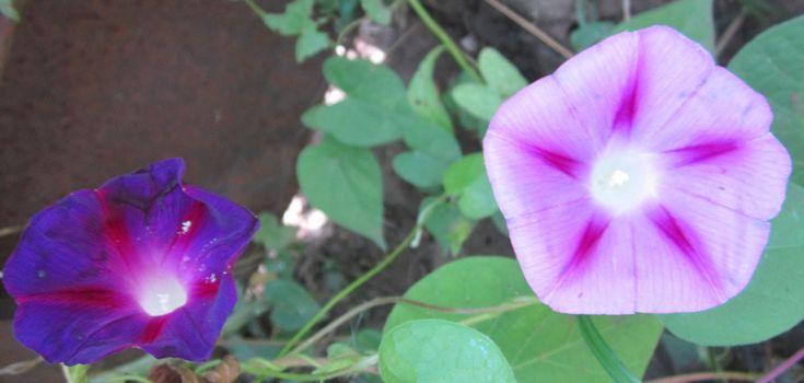 Ипомея.Множество стихов посвящается этому неописуемо красивому растению. И это не удивительно. Кто хоть раз видел свежесть ее нежных бутонов, навсегда влюбляется в это чудо природы. Разные виды отличаются яркими окрасками цветов. Ежегодно селекционеры создают новые разновидности этого растения. Из-за этого раскраска бутонов принимает самые разнообразные варианты.