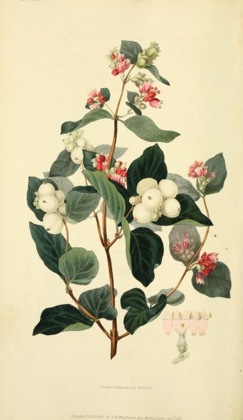 Flora conspicua : a selection of the most ornamental flowering, hardy, exotic and indigenous trees, shrubs, and herbaceous plants, for embellishing flower-gardens and pleasure-grounds / by Richard Morris ; drawn and engraved from living specimens by William Clark. 1826 | New York Botanical Garden, Mertz Library