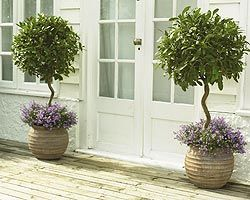 Grow bay trees in pots for a long lived house plant. You will have fresh