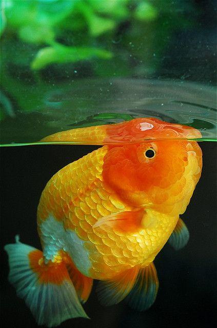 Mr Sashimi Aquarium Pinterest Goldfish Oranda Goldfish And