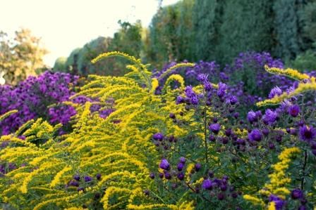 Asters and Goldenrod, food fit for pollinators!