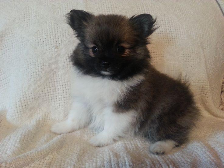 Sweet fuzzy baby #pom #dogs