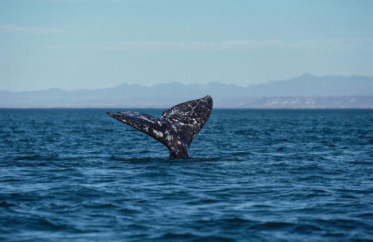 A Gray Whale Breaks The Record For Longest Mammal Migration   #Science #Russia #Mexico via @NatGeo