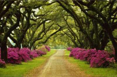 Beautiful Pathway Lined with Trees and Purple Azaleas.  imgfave.com