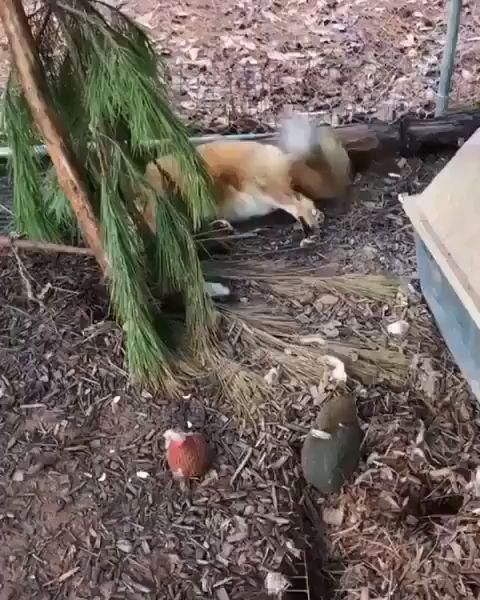 Happy fox 🦊 – Cuteness❤