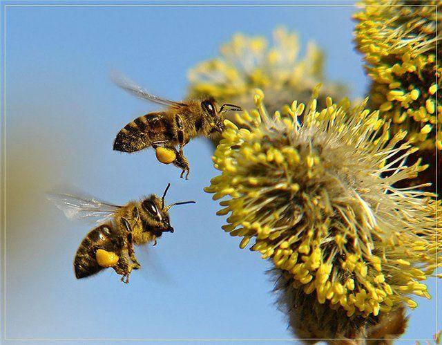 Пчелиная пыльца, цветочная пыльца, пыльца-обножка