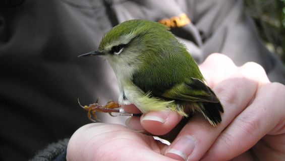 A'Deane's Bush in the Central Hawkes Bay is now home to a population of the threatened native species titipounamu (rifleman).