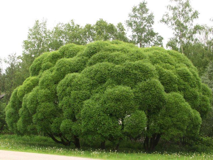 Salix fragilis 'Bullata', Terijokipil. Bollformig pil. Höjd: 3-8 m. Bild: MTT