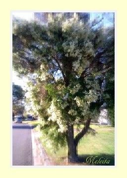 TEA TREE IN MY STREET