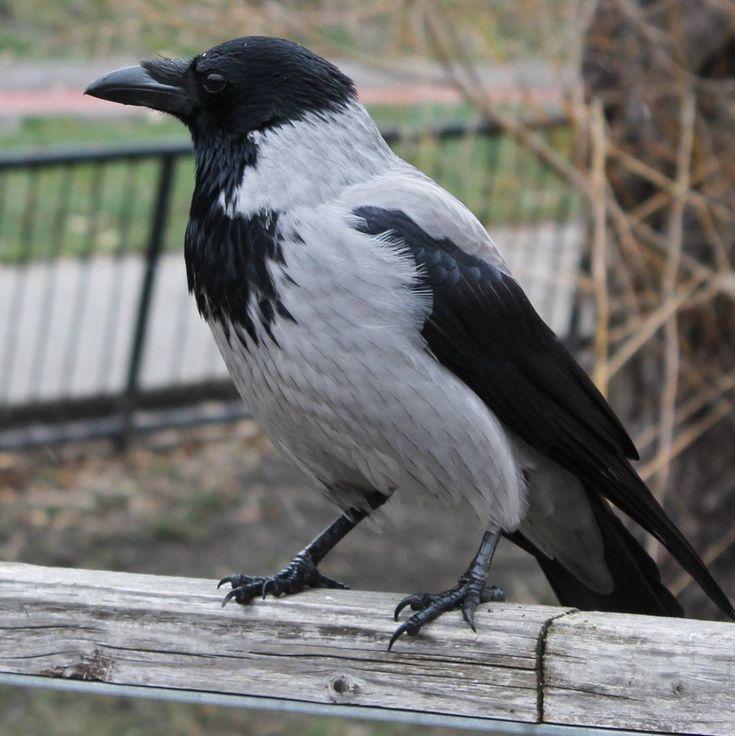 #crow #bird #budapest #canon #canonhun #nofilter #wlb #dslr
