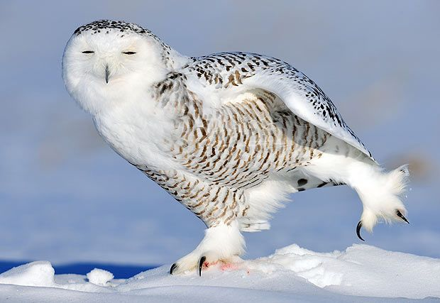 This picture!  Snowy Owl Facts For Kids | Amazing Snowy Owl Behavior, Diet, Habitat, and Reproduction