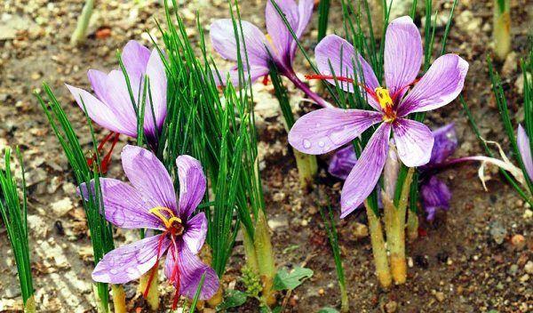 how to grow saffron indoors