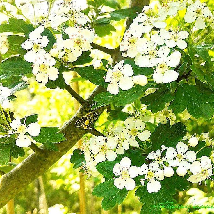 This whole tree was humming with bees  look at how full it's legs are with pollen!   Dieser ganze Baum summte so voll war der mit Bienen  schaut nur wie voll ihre Beine mit Pollen sind!   #vegansofgermany #swissvegan #potanana #eatgreen #eatlocalgrown #eatyourgreens #powerdedbyplants #plantbaseddiet #veganwerdenwaslosdigga #naturephotography #natureshot #bees #biene #naturfoto #springfeeling #frühlingsgefühle #mindfulness #minimalism #mindfulwalking #achtsamkeit #morethan #insects #insekten…