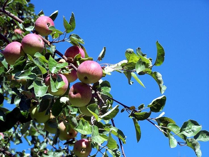 Potrawy regionalne pl site - nalewka z jablek