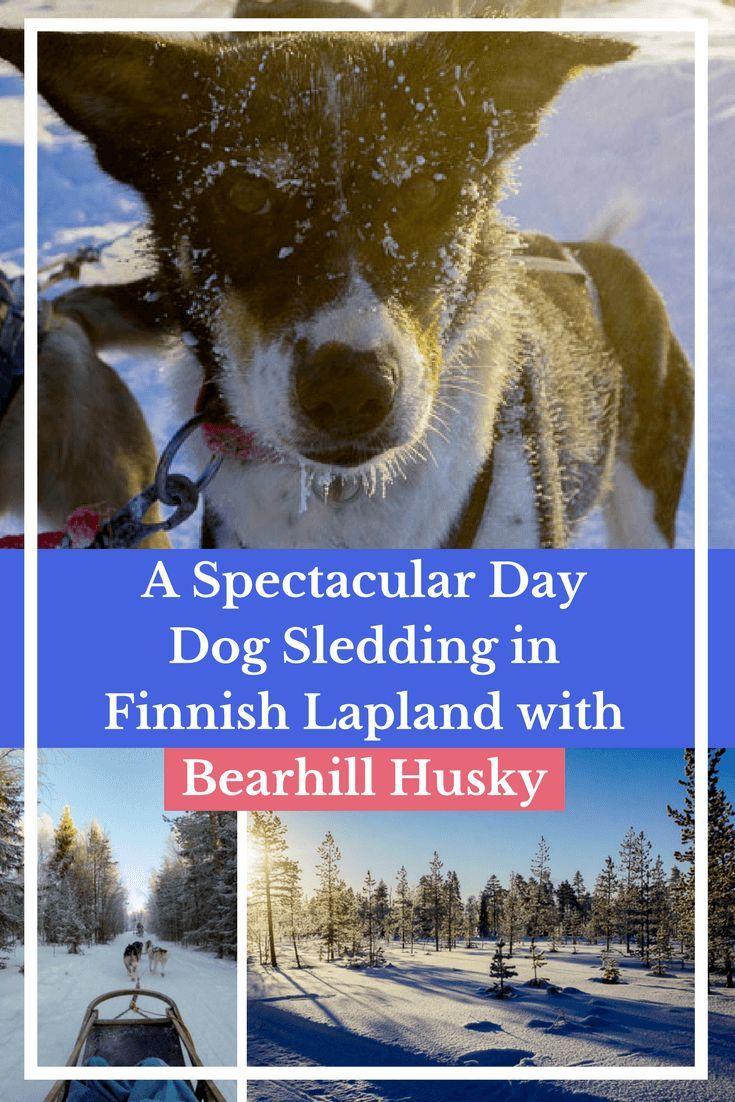 Dog Sledding in Finnish Lapland with Bearhill Husky-Lapland is a bucket list destination and dog sledding north of the Arctic Circle is unforgettable! #Travel #Finland  #Europe #Lapland #finnishlapland #winterwonderland #bucketlist #adventuretravel